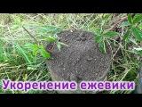 Укоренение (размножение) ежевики. Выращивание своего посадочного материала