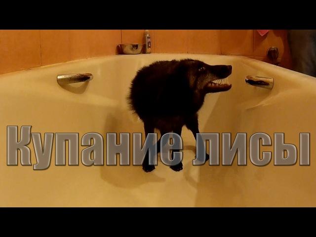 Купание лисы Bathing foxes