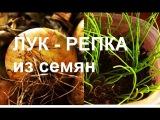 ЛУК РЕПКА из СЕМЯН за один сезон