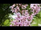 Людмила Сенчина - Белой акации гроздья душистые
