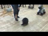 Танцы с енотом :D