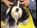 Про породу собак Ши тцу и уход за ней
