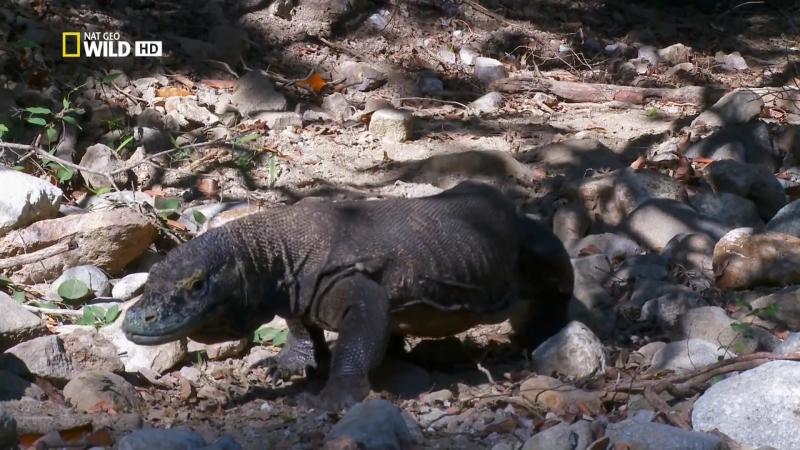Самая большая ящерица. Гиганты мира животных 3 Nat geo wild