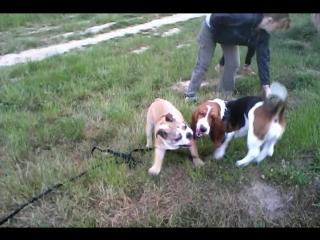Луиджи играет с Георой (Бассет)