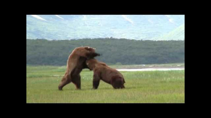 Battle Of The Giant Alaskan Grizzlies grizzly vs grizzly alaska