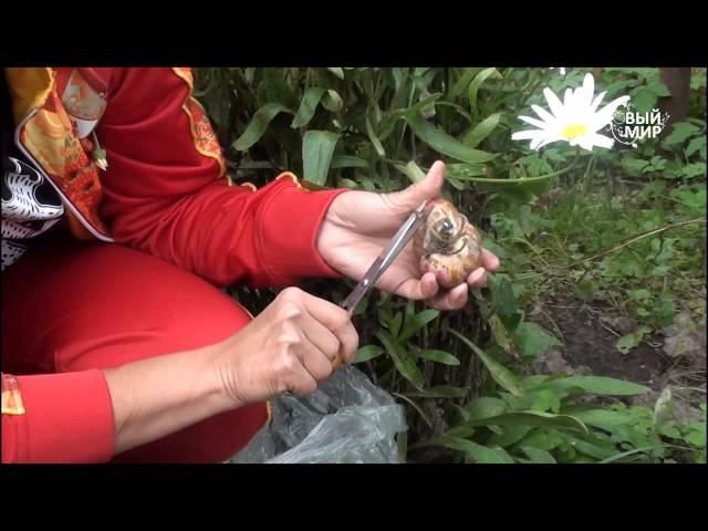 Осенняя посадка лилий.Сайт Садовый мир