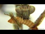 Mega Mantis L7 Eats Meal Worm