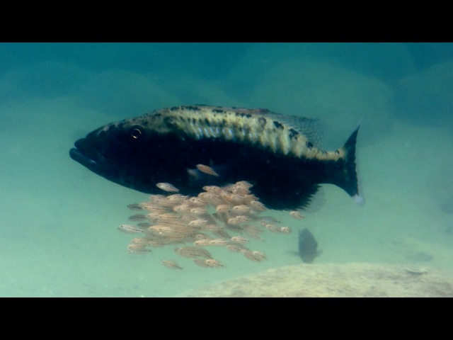 Baby fish hide inside mother's mouth Animal Super Parents Episode 1 Preview BBC One