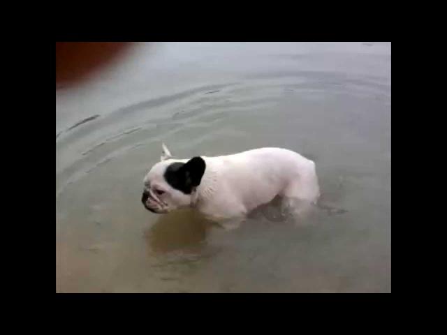 собака французский бульдог ныряет