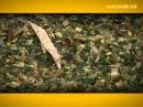 Кукуруза на силос: заготавливаем по всем правилам
