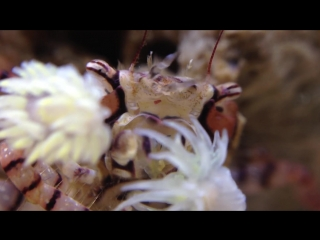 Macro- Pom Pom Crab