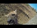 Жестокое нападение гиен на человека! Жесть