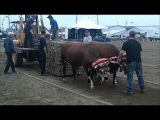 Oxen pulling hook on stay on at The Big Ex