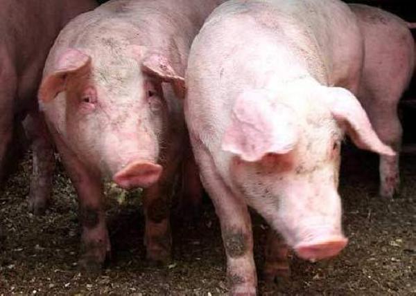 В одном из районов Ростовской области ветеринарные врачи выявили паразитов в свиных тушах