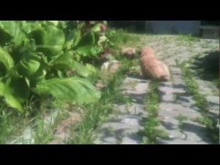 Щенки тибетского спаниеля.m4v