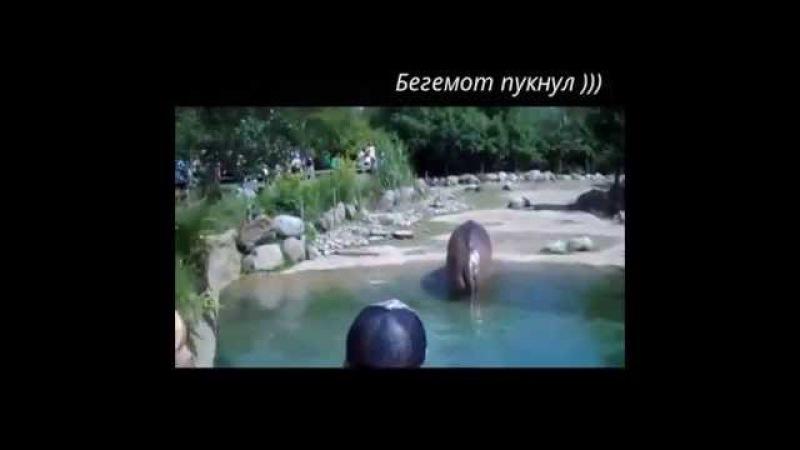 Funny TV Бегемот пукнул Сборник приколов Видео 2015