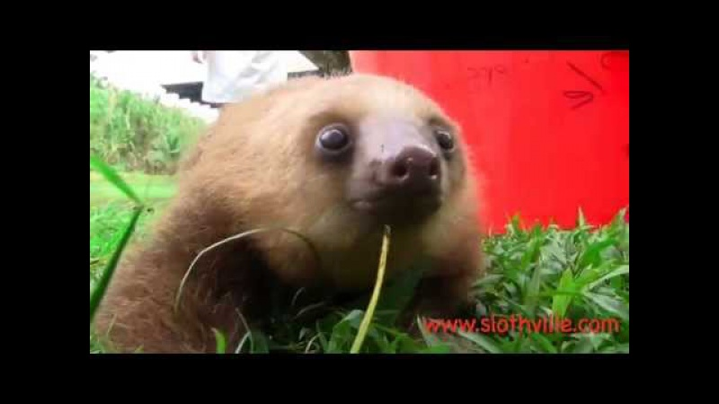 Cute sloth says ''Mehh''