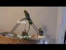 Parrotlet Play Date 2