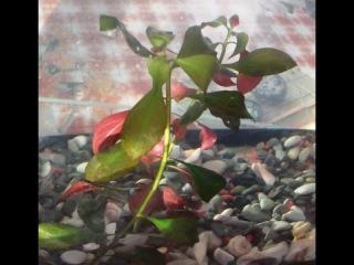 Аквариумное растение Людвигия Цветение, содержание, происхождение