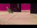 Зловещий смех попугая