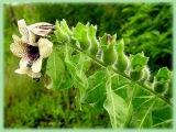 Ядовитые растения. Белена черная