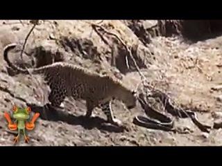 Бои животных. Леопард против удава