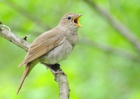 Орнитотерапия — лечение пением птиц