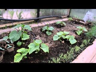 Посадка тыквы и кабачков на компостную яму