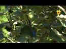 Огород с теплицей и яблоневым садом. Своими руками FORUMHOUSE