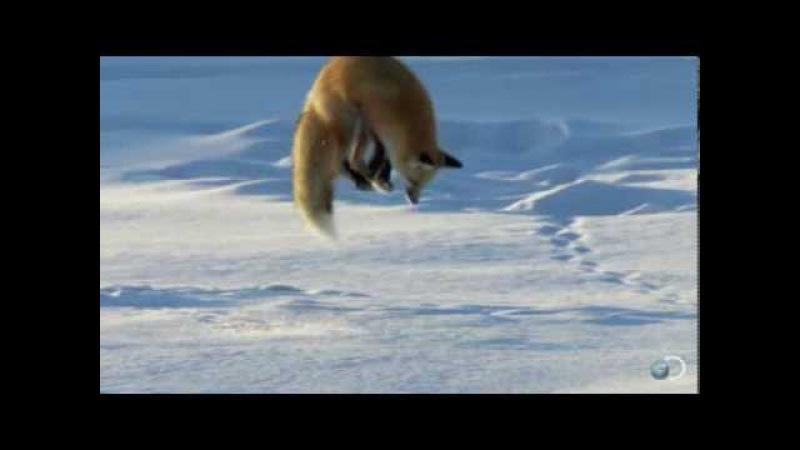 Как лиса ловит мышей в глубоком снегу