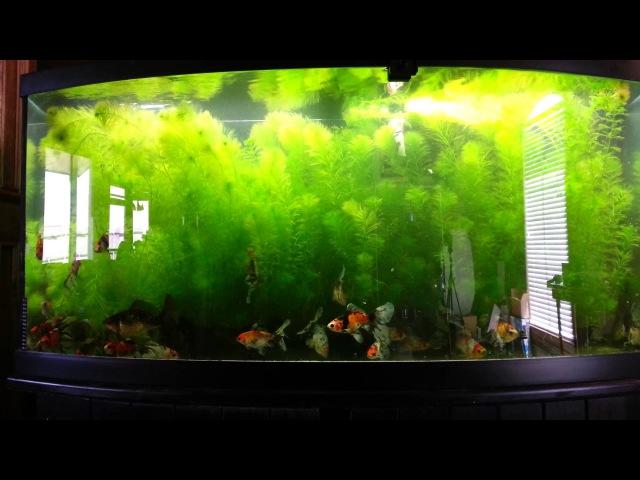 Planted Bristol Shubunkin Goldfish tank
