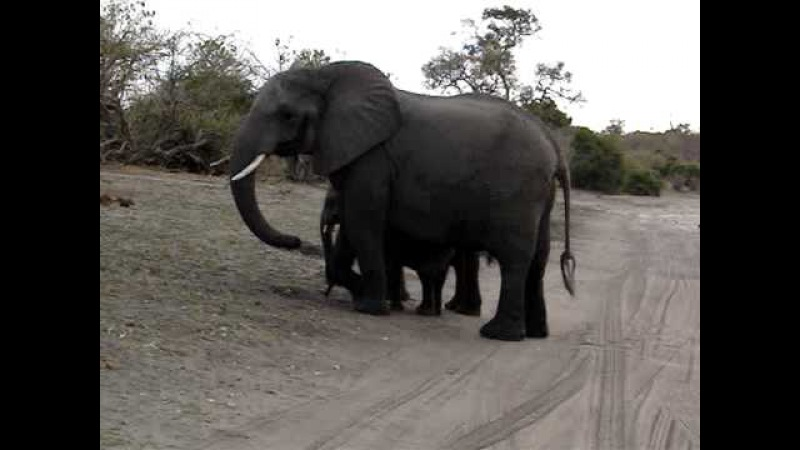 Baby elephant sneezes and scares himself