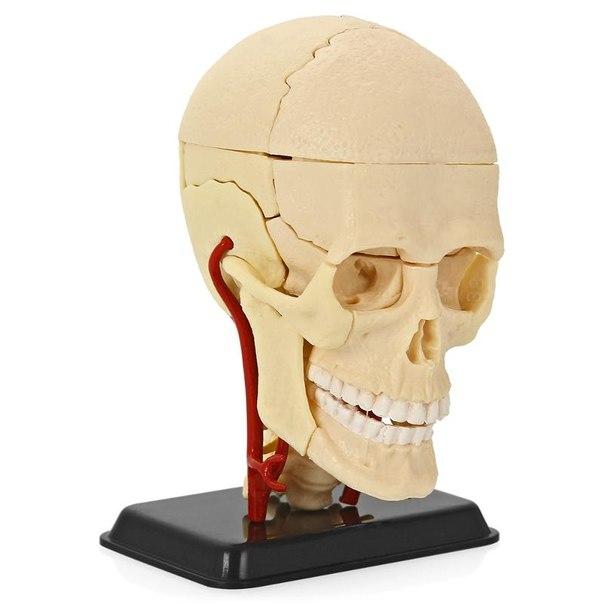 Анатомический набор (голова)