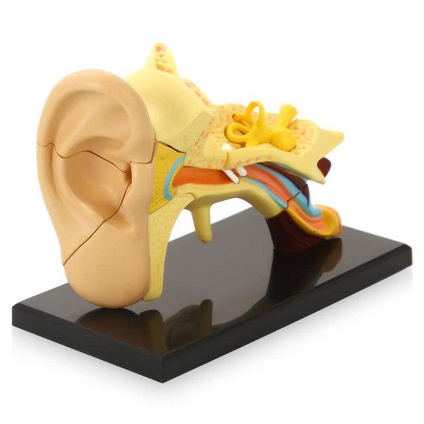 Анатомический набор (ухо)