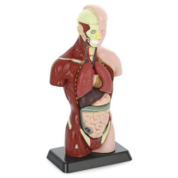 Анатомический набор (тело, органы 27см)