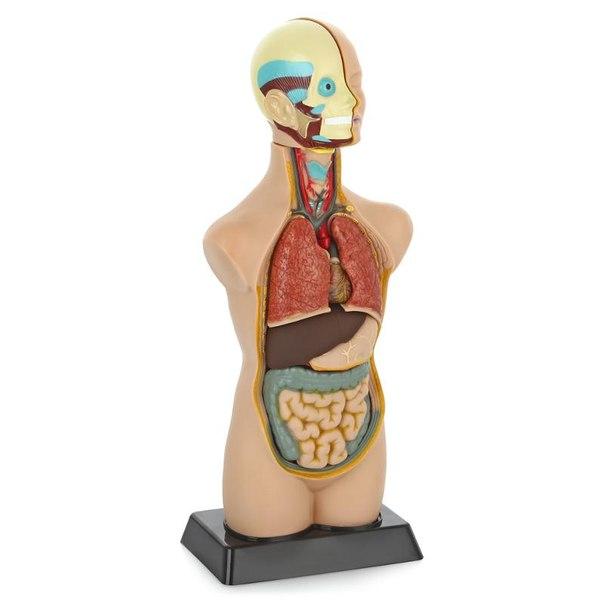 Анатомический набор (тело, органы 50см)