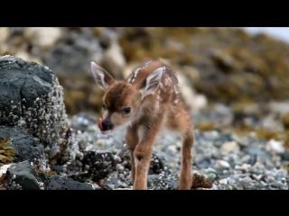 Новорожденный оленёнок