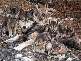 Как волки меняют реки. (содержание фильма Цари природы: Жизнь на земле высших хищников)