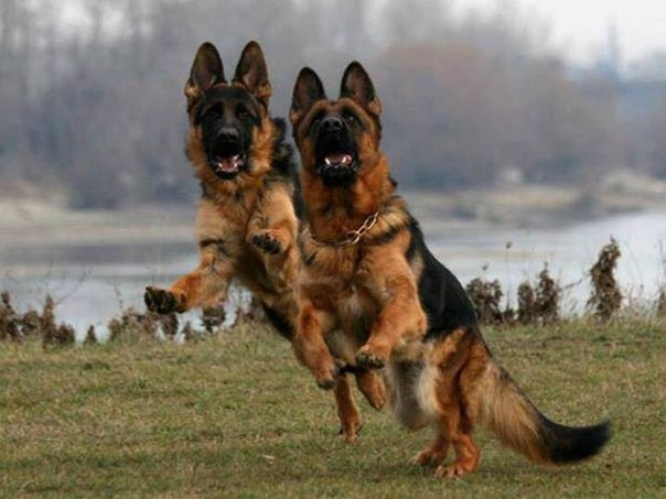 Two german shepherds jumping