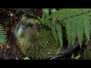 Неуклюжий Какапо: единственный попугай, который не умеет летать