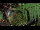 Clumsy Kakapo The flightless parrot - Natural World Natures Misfits preview - BBC Two