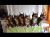 Gatos dançando wigo wigo wigo