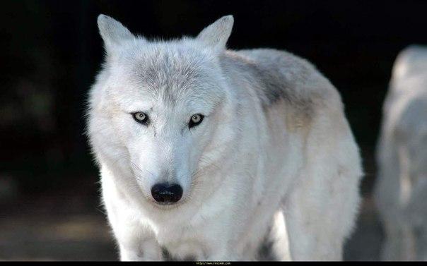 «Одинокий Волк МакКуэйд» — 1983