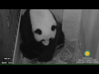 Гигантская панда родила двух детенышей в зоопарке Вашингтона.