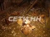 Мифической чупакабре, загубившей сотни животных, нашли реальное объяснение  02.12.2014