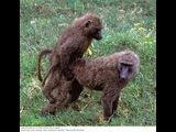 Подборка№3! Спаривание обезьян,горилл!Секс горилл,обезьян!Sex gorillas,monkeys!