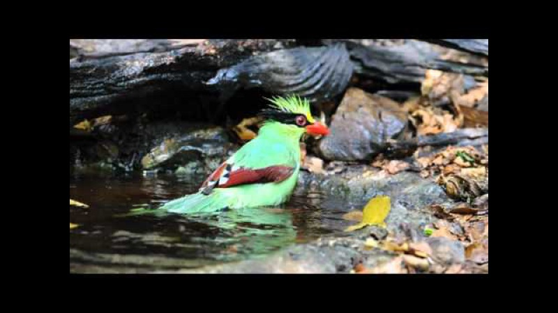 Common Green Magpie Зеленая цисса Cissa chinensis