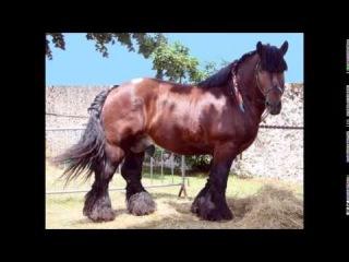 Породы лошадей  Австралийский тяжеловоз
