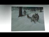 Тайны волков - очень красивое видео! Топ дня. Лучшее 2015