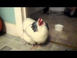 Sneezing Chicken (Чихающая курица)
